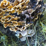 wood decay fungus example