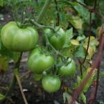 Green Tomatos